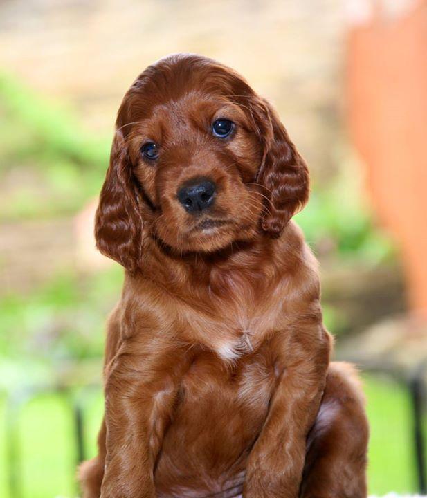 Indie & Rafferty puppies nearly 5 weeks