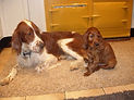 Danwish Irish Setters