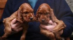 Shaytell puppies