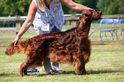 Rafferty 2nd in Open at South of England Irish Setter Ch Sh today