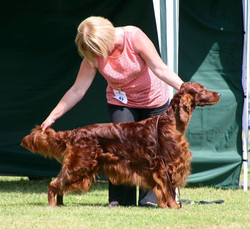 Rafferty 3rd in Open at the joint Irish Setter Ch Show today