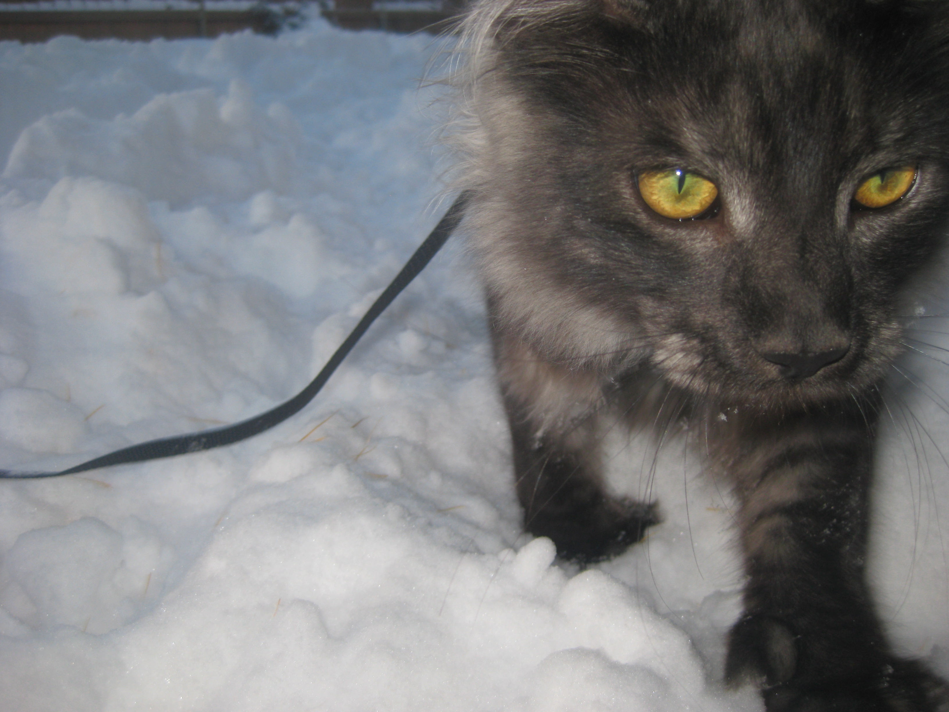 Faaqidaad : Maine coon kittens for sale pacific northwest