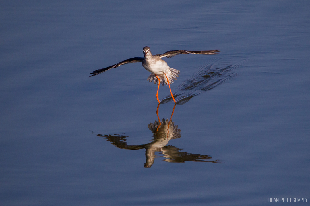 Spotted Redshank