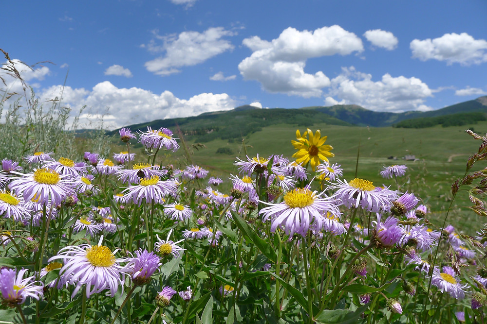 Fleabane and Aspen sunflowers in Crested Butte, CO