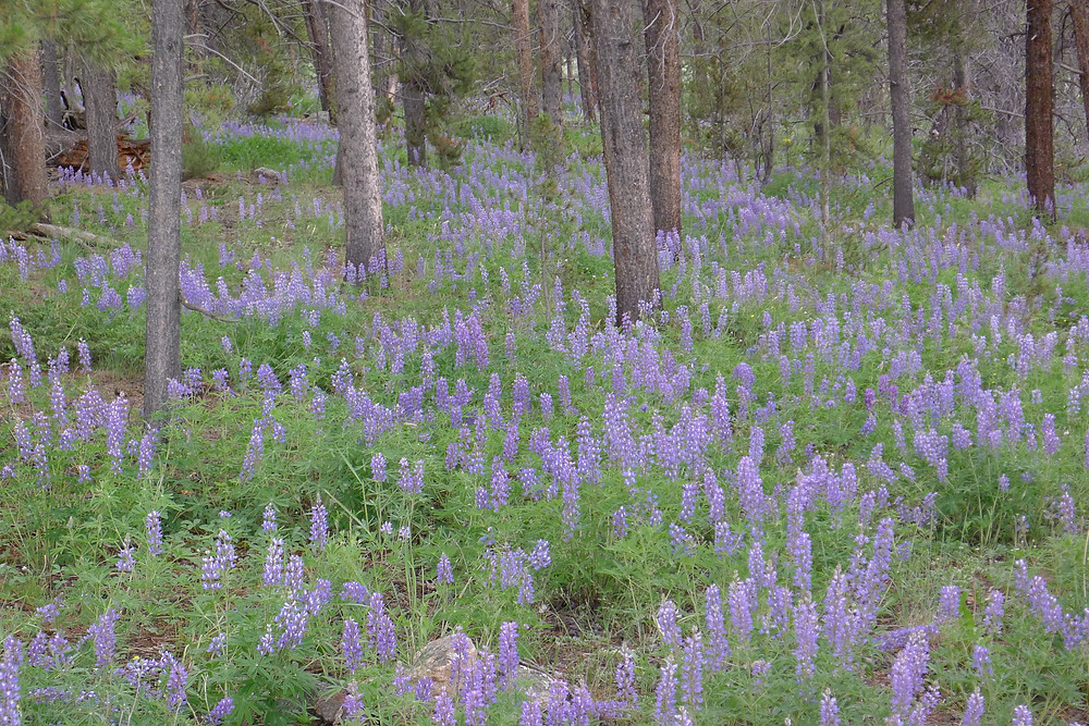 Lupine on the forest floor on Cottonwood Pass