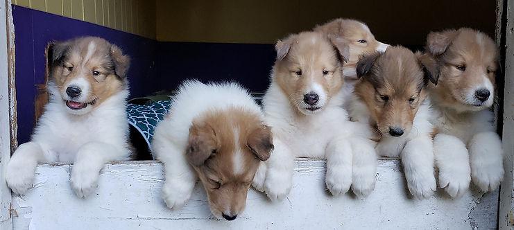 Ginger pups 2.jpg