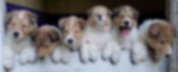 Ginger Kiping pups 5 weeks.jpg