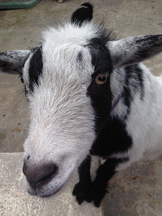 "5 Times Goats Made Our Friday a ""Friyay"""