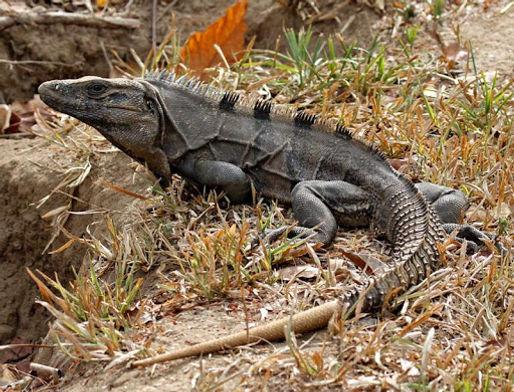 spiny tail iguana.jpg