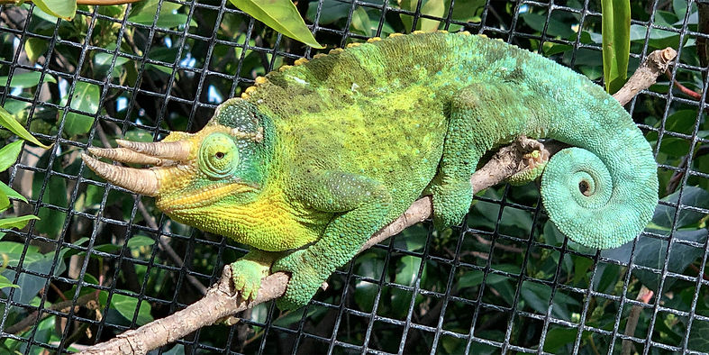 jackson chameleon.jpg