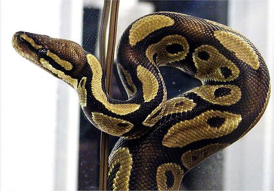 ball-python_11.jpg
