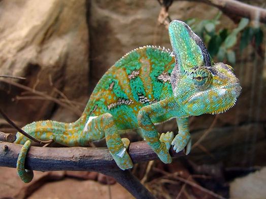 vieled chameleon.jpg