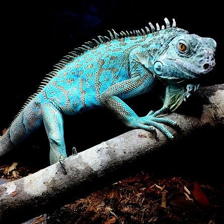 blue iguana 2.jpg