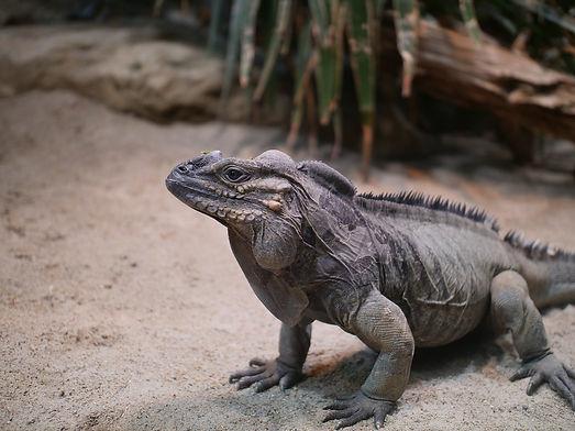 rhino iguana.jpg