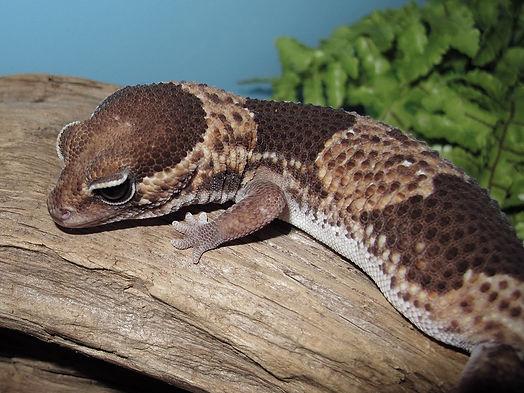 African-Fat-Tail-Gecko.jpg