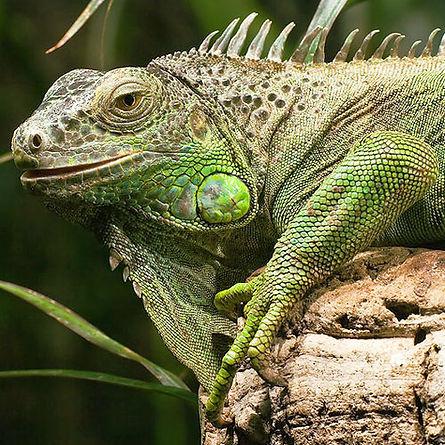 green iguana 2.jpg