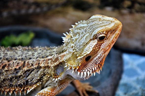a bearded dragon.jpg
