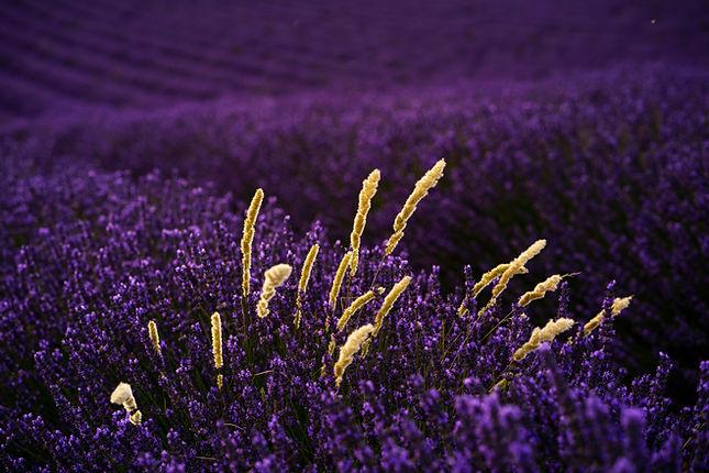 Lavendel Hirse anouchka_olszewski_©.jpg