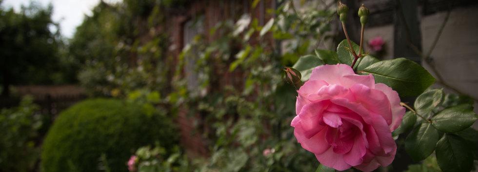 Sabawald in Hofgeismar | Rose | fototouren.net