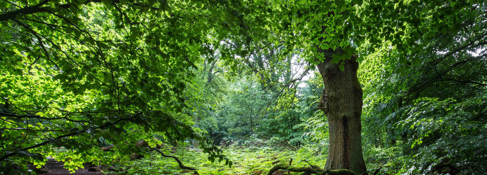 Sabawald in Hofgeismar | Baum | fototouren.net