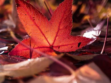 Ein rotes Blatt im Herbst