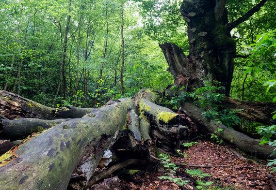 Sabawald in Hofgeismar | Stamm | fototouren.net