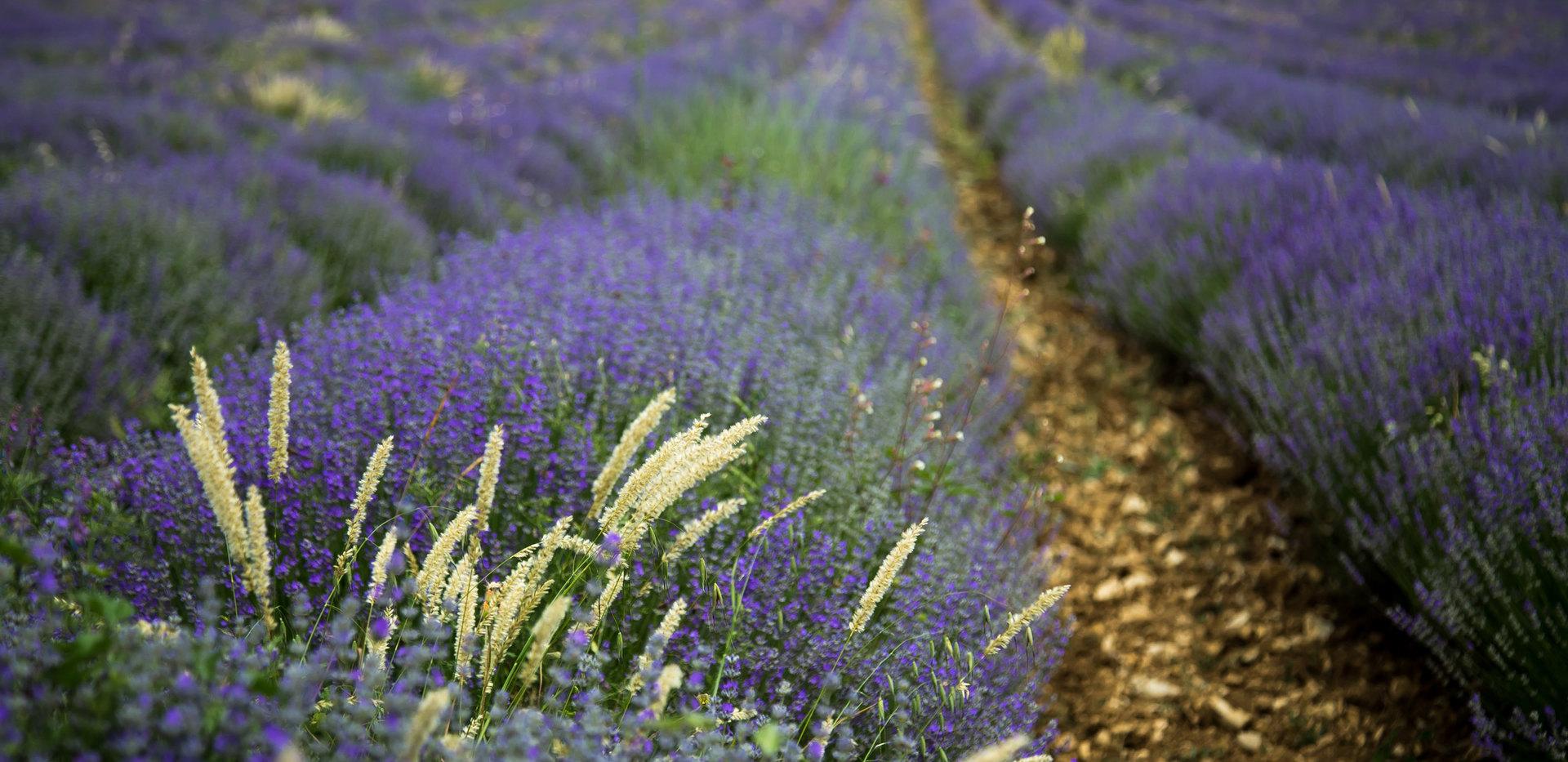 Farben der Provence | Lavendel | fototouren.net