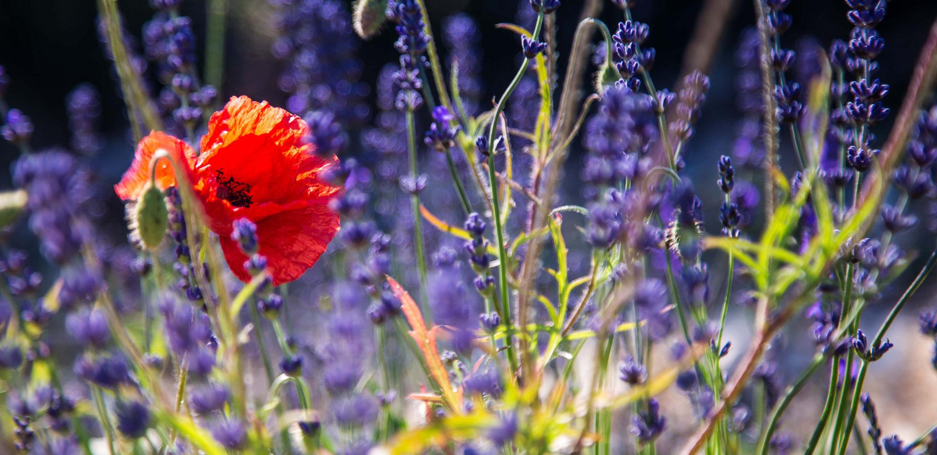 Farben der Provence | Mohn | fototouren.net