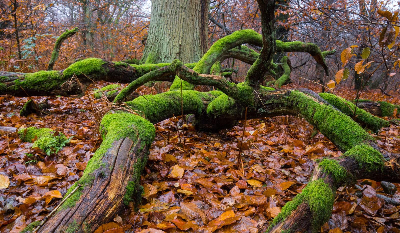Sabawald in Hofgeismar | Wurzeln | fototouren.net