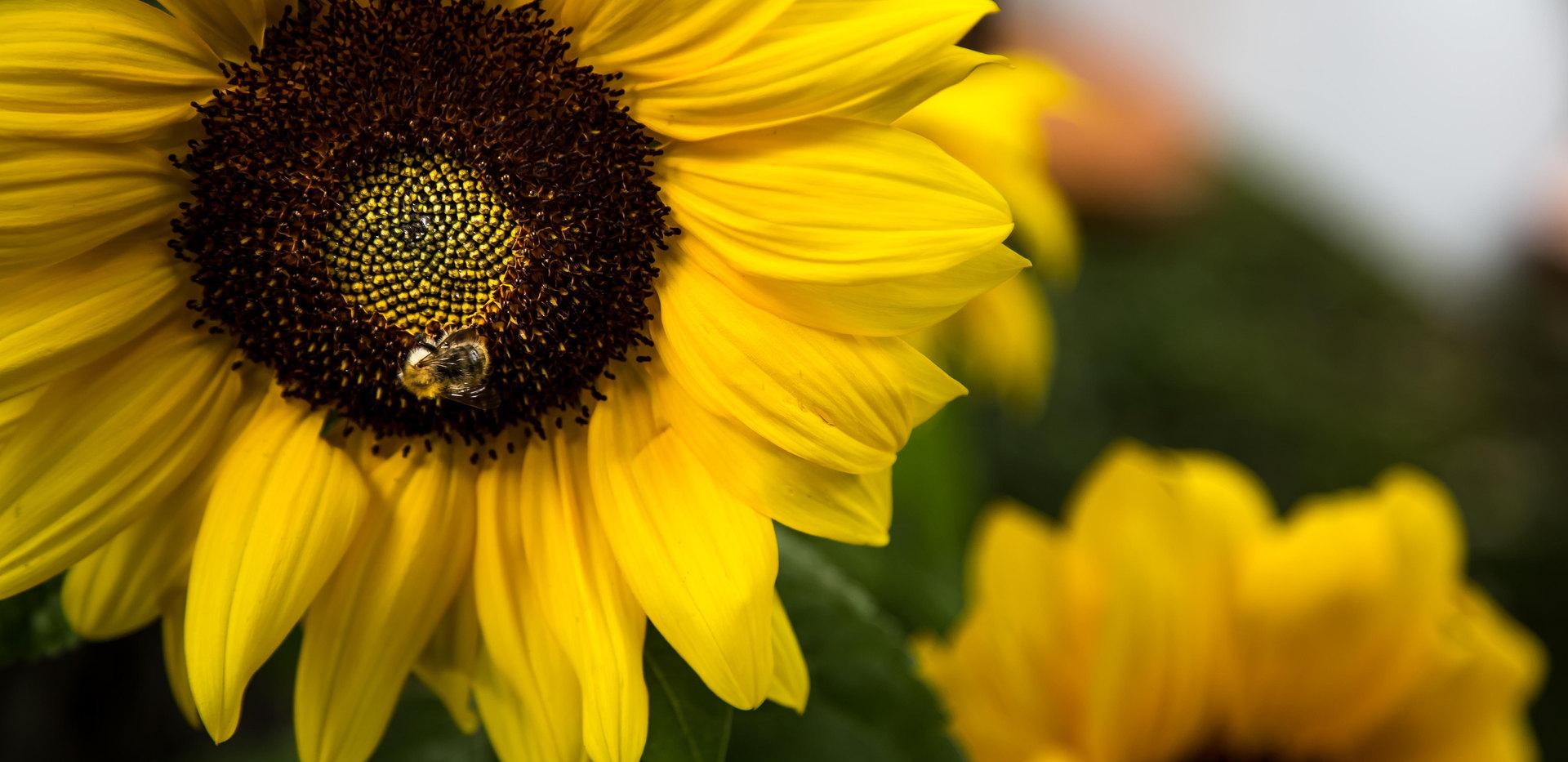 Farben der Provence   Sonnenblumen   fototouren.net