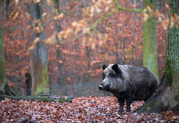Sabawald in Hofgeismar | Wildschwein | fototouren.net
