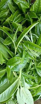 green tea leaves copy.png