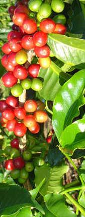 coffee leaves.jpg