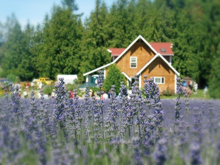 ©Purple Haze Lavender Farm