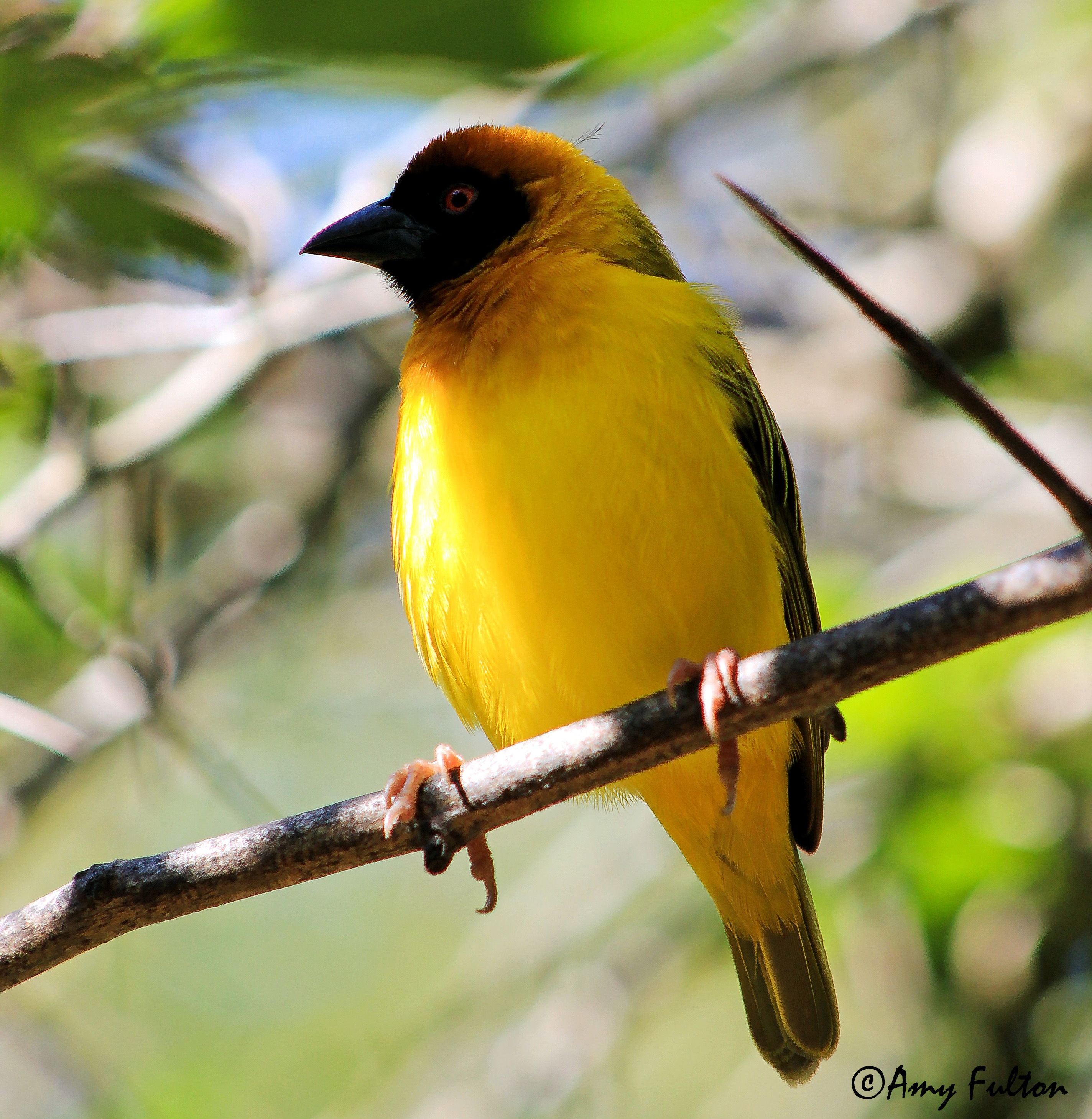 Black Headed Weaver from Africa