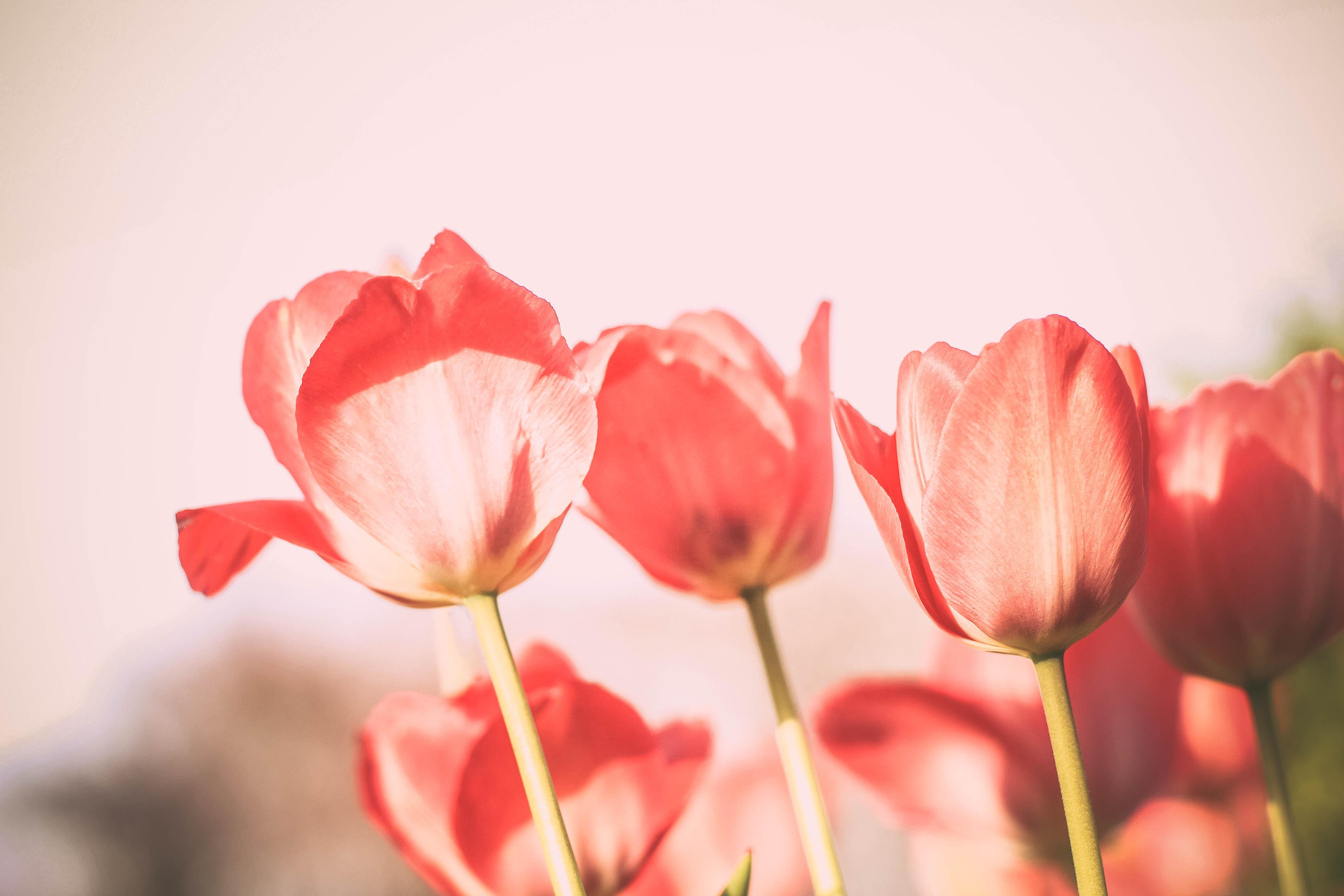 Pink Tulipos