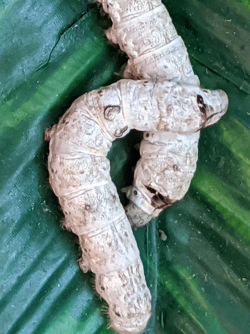 PRE-ORDER Medium Silkworms (Ships within 3-5 weeks)