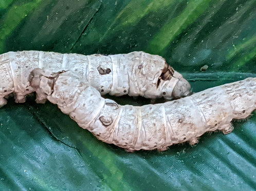 PRE-ORDER Large Silkworms (Ships within 4-6 weeks)