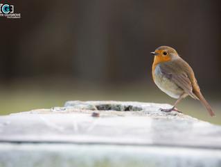 Hello little Robin