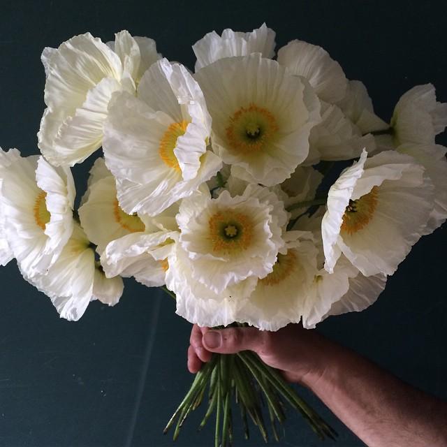 Poppy    Colibri Bianco.jpg