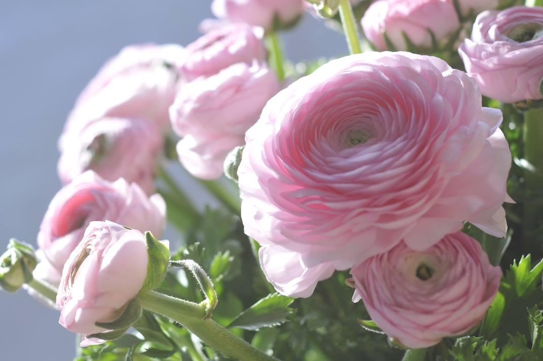 Elegance Ranunculus.jpg