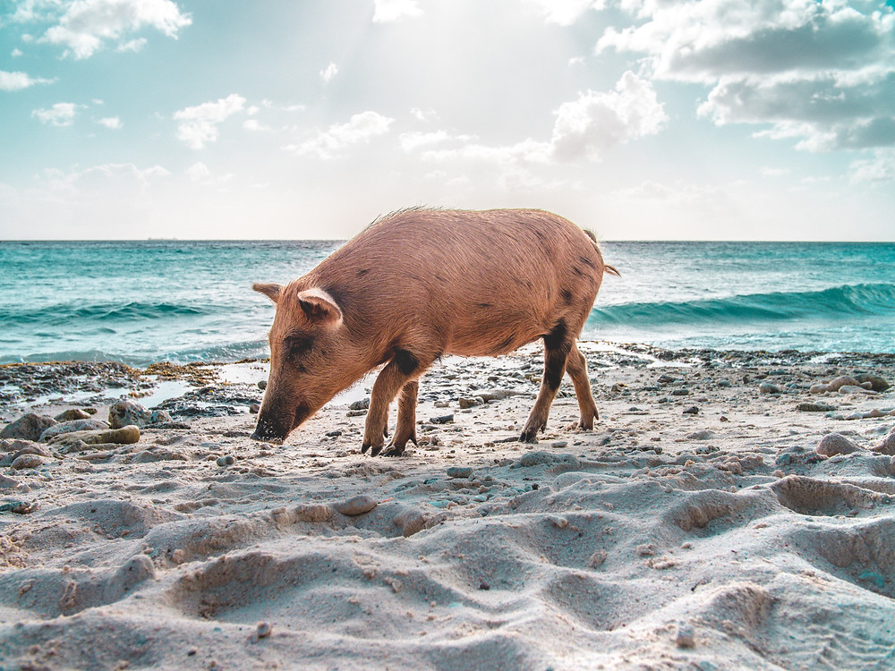 Diatomaceous Earth benefits and uses for pigs
