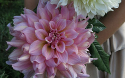 pink dinner plate dahlia