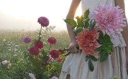dahlias in the meadow