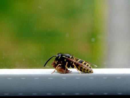 Die Erdwespen und die Efeu-Seidenbienen