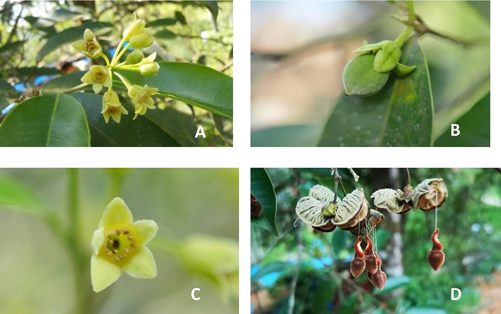Published in 2019 Aquilaria yunnanensis S.C. Huang (Thymelaeaceae), a new record for the flora of Vietnam.
