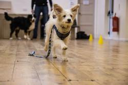 running dog in class