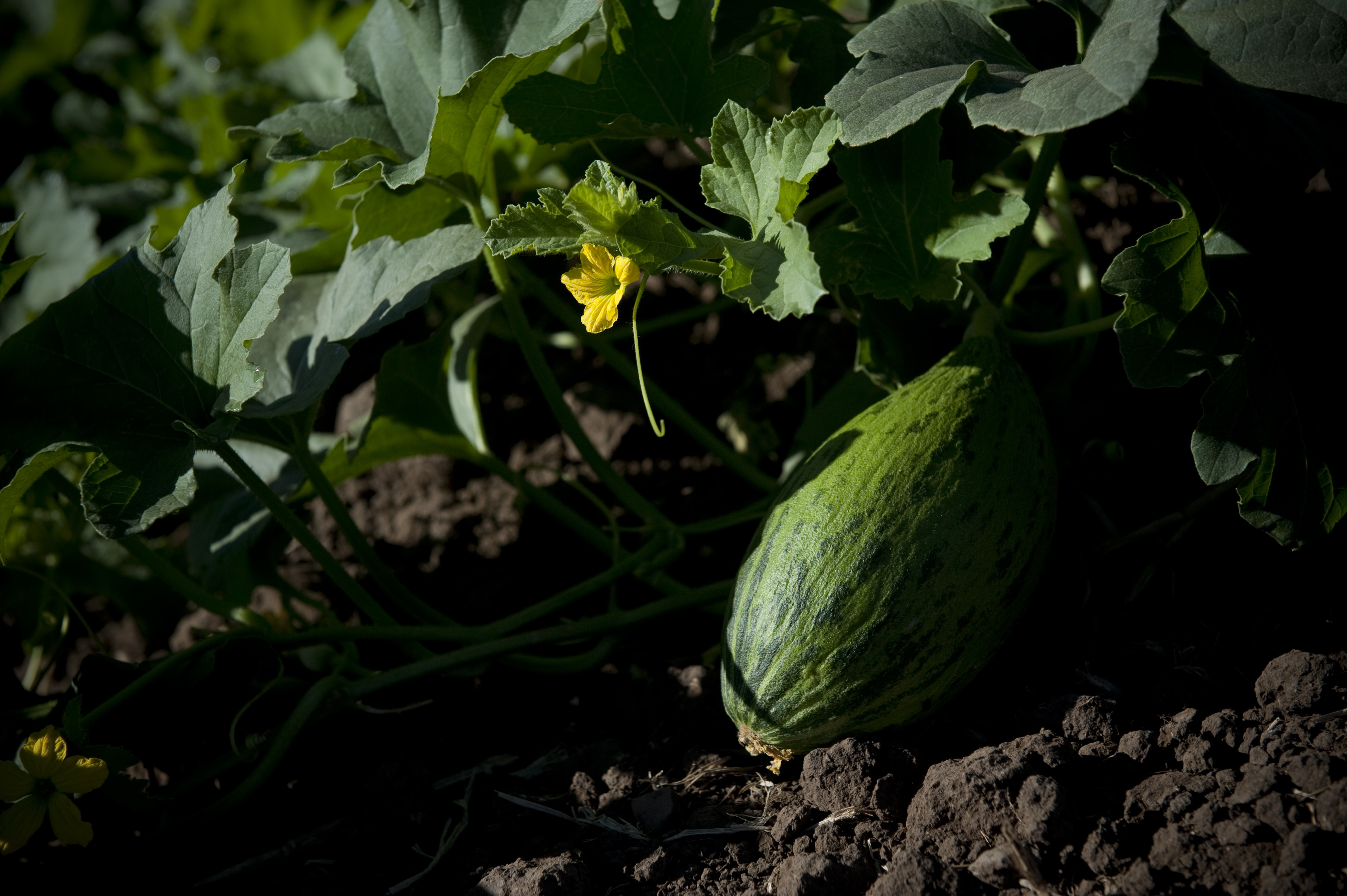 Melones del Sol
