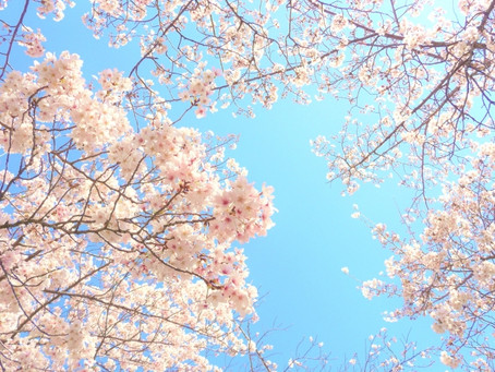 3/23 桜が咲き始めました