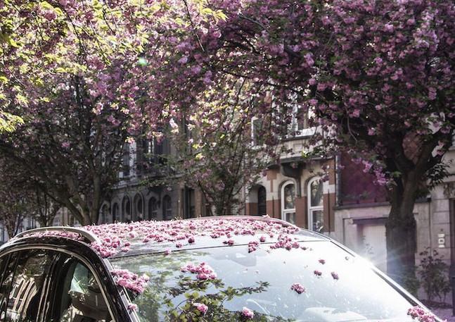 Cherry blossom, Brussels, Belgium
